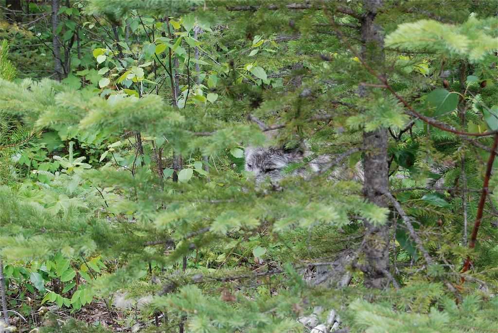 Northern Lights Wildlife Wolf Centre in Golden (BC) - (c) 2013 Ole Helmhausen - 2