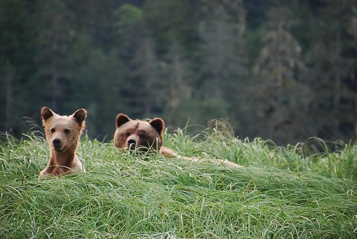 Grizzly-Bären beobachten in Kanada – zu Besuch in der Great Bear Lodge Vancouver Island - 4