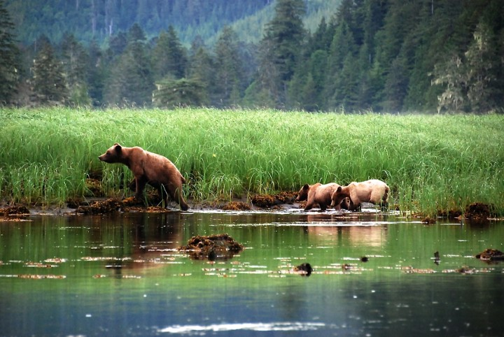 Grizzly-Bären beobachten in Kanada – zu Besuch in der Great Bear Lodge Vancouver Island 1