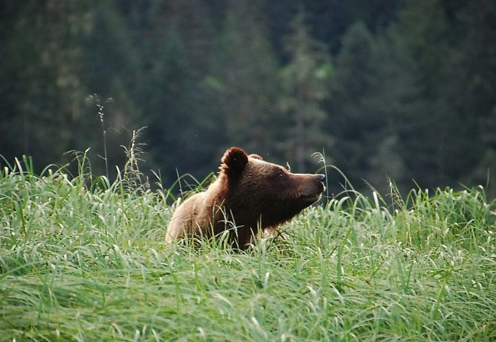 Grizzly-Bären beobachten in Kanada – zu Besuch in der Great Bear Lodge Vancouver Island - 12