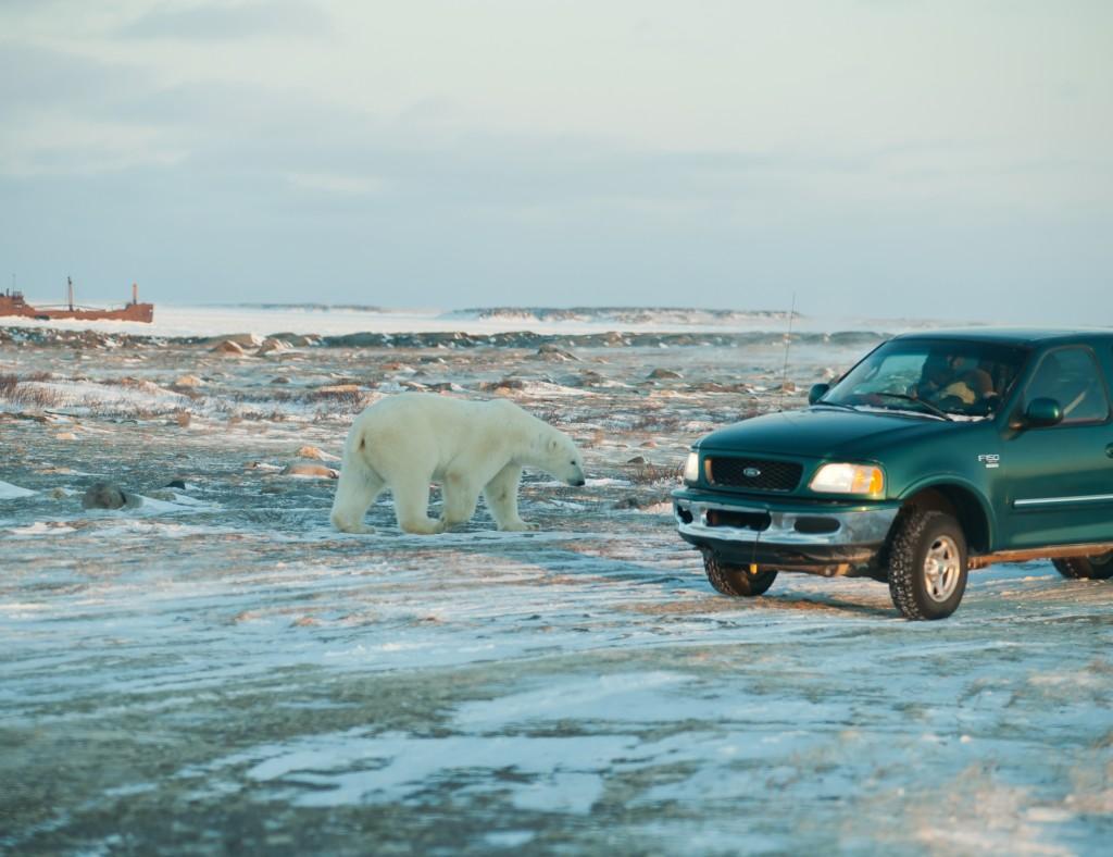 Eisbär in der Nähe von Churchill, Wrack der Itaca im Eis der Hudson Bay